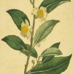 Serenity Soapworks Tea Tree
