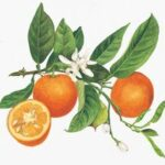 Serenity Soapworks Orange and Clove